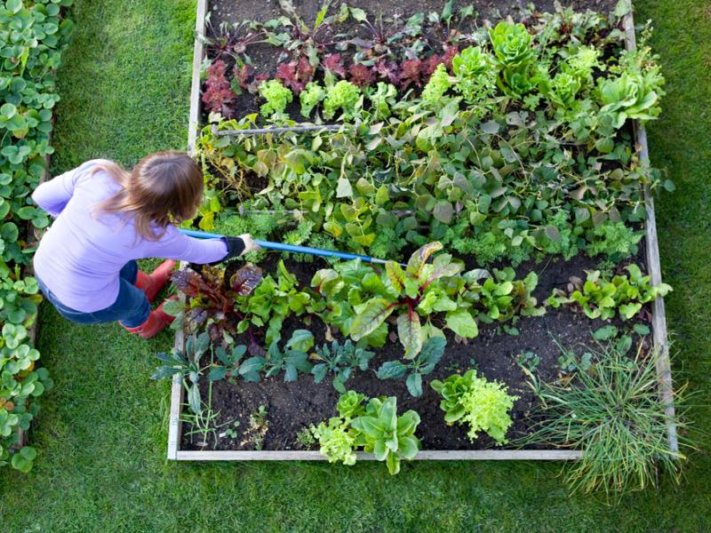 Gardener hoes raised bed of vegetables