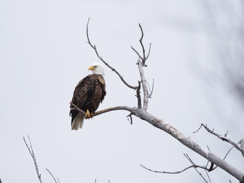 Bald eagle perched on a bare branch