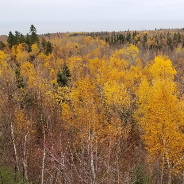 Fall foliage landscape, outlook over poplar trees